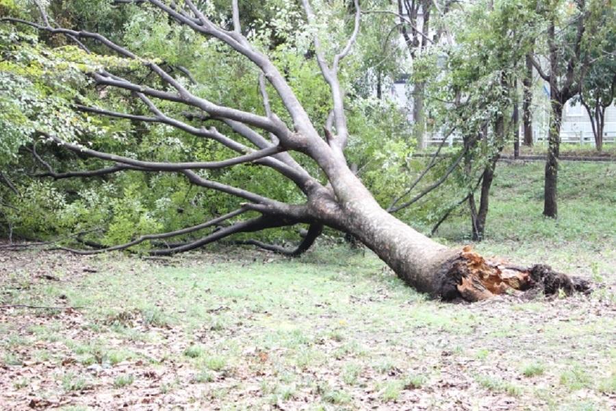 台風の強風よって倒れた木