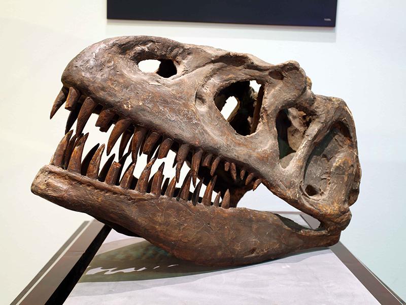 【化石】ティラノサウルス・レックス